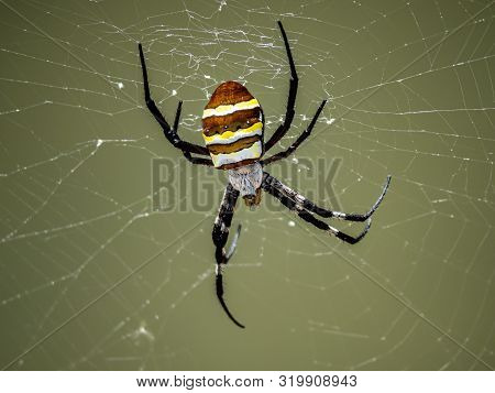 A Large Argiope Amoena Spider Sits In Its Web Among The Long Grass Beside The Saza River In Nagasaki