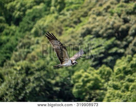 A Western Osprey, Pandion Haliaetus, Soars Above The Saza River In Nagasaki Prefecture, Japan.