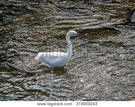 A Little Egret, Egretta Garzetta, Wades Through The Waters Of The Sasebo River In Nagasaki Prefectur