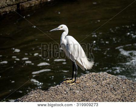 A Little Egret, Egretta Garzetta, Stands On A Concrete Block In The Sasebo River In Nagasaki Prefect