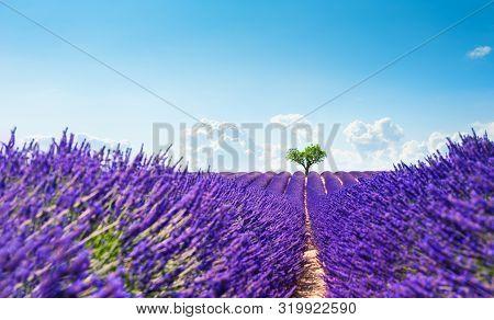 Lavender Fields With Heart-shape Tree Near Valensole, Provence, France. Beautiful Summer Landscape.
