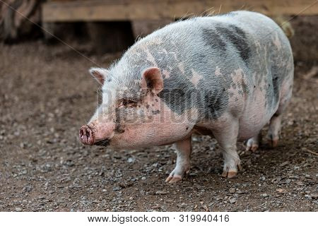 Full Body Of Black-white Pig Breed Vietnamese Pot-bellied. Photography Of Lively Nature And Wildlife