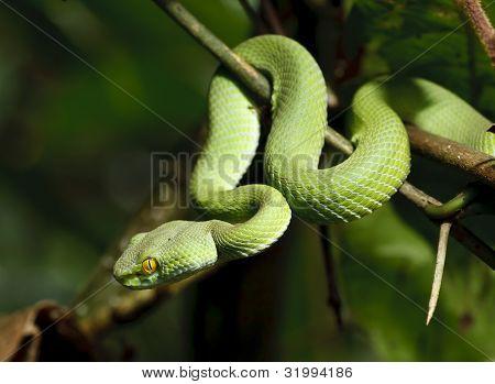 Green Snake im Regenwald