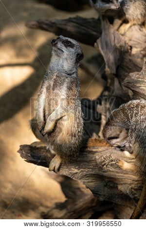 Full Body Of Standing Adult Wild African Meerkat (suricatta). Photography Of Lively Nature And Wildl