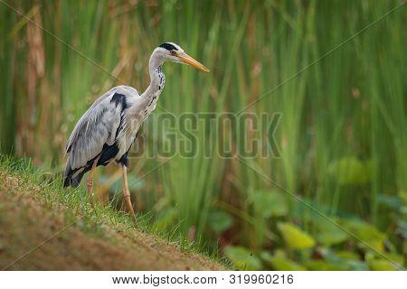 Grey Heron - Ardea Cinerea Long-legged Predatory Wading Bird Of The Heron Family, Ardeidae During Ra