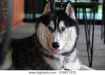Siberian Husky Is Animals That Are Popular Throughout The World.