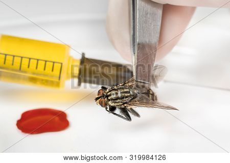 Science entomologist with tweezers examines fly - diseases, reproduction, gene modification concept poster