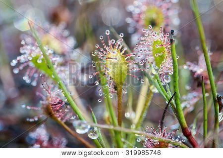 This Small Fragile Plant Is Called The Drosera Capensis, Is Only A Few Centimeters In Size, Is A Car