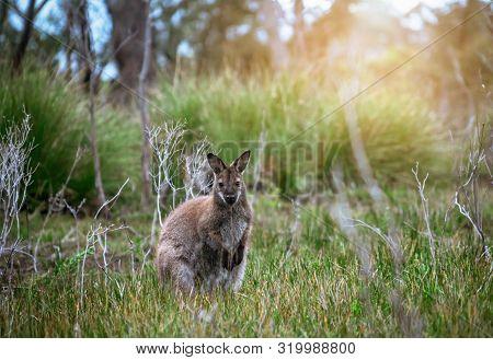 Wild Wallaby In Forest In Tasmania, Australia.