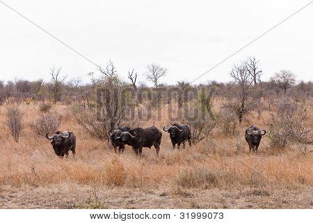 Buffalo Grazing Between The Bushes