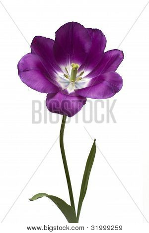 Purple Tulip on White