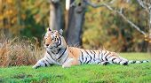 Tiger on grass in Animal Kingdom in Orlando, Florida poster