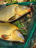 The common carp in fish net. Harvest of a pond. poster
