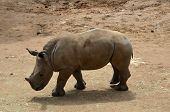 this is a young rhino walking in the heat poster
