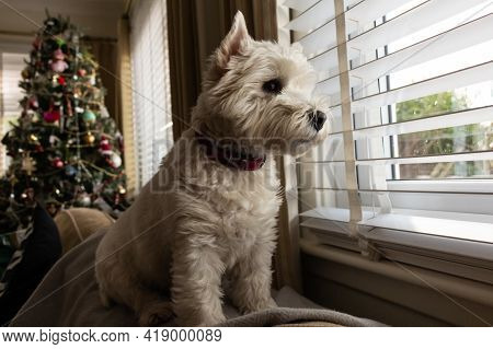 A Cute White West Highland Terrier Dog Looking Out Of A Window With A Christmas Tree In The Backgrou