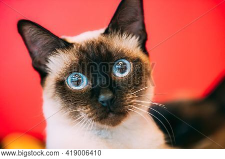 Close Up Portrait Of Mekong Bobtail Cat Kitten At Blurred Red Background. Funny Close Up Mekong Bobt