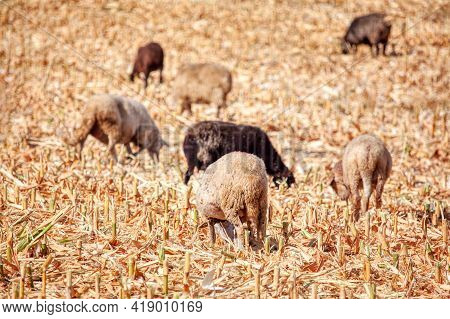 Sheep Grazing On Cornfield . Herd Of Domestic Animals At Agricultural Field