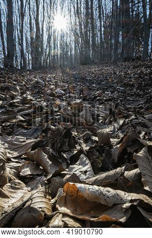 Dried Leaves And Sun In Deciduous Forest, Big Fatra, Slovak Republic. Hiking Theme. Seasonal Natural