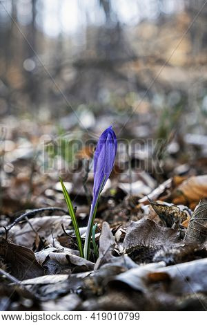 Blooming Crocus Flowers In Springtime, Big Fatra Mountains, Slovak Republic. Seasonal Natural Scene.