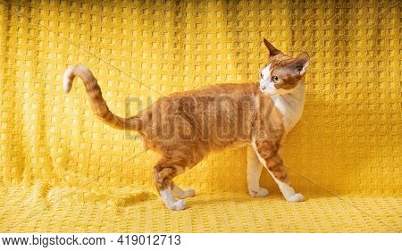 Funny Red Ginger Devon Rex Cat Posing On Plaid. Short-haired Cat Of English Breed On Yellow Plaid Ba