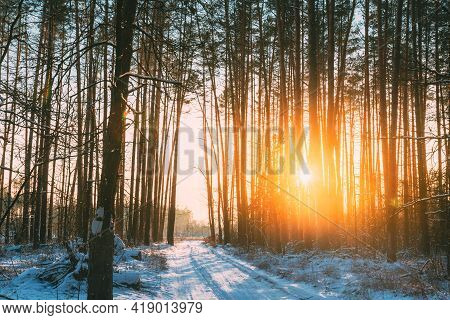 Country Road In Winter Pine Forest. Sun Sunshine Sunlight Through Frosted Trees Frozen Trunks Woods