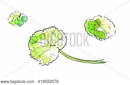 Watercolor Drawing Pelargonium Three Green Leaves Isolated On A White Background