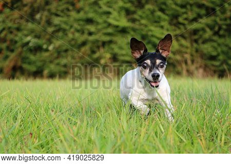 Funny Small Jack Russell Terrier Is Running In The Garden