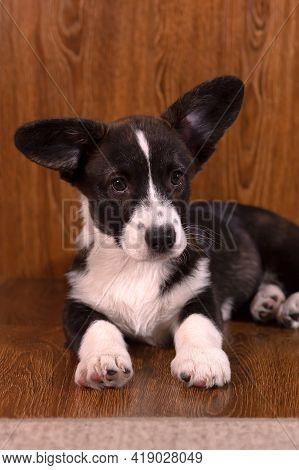 Little Kind Beautiful Funny Dog Corgi Cardigan, Corgi Puppy Close Up.