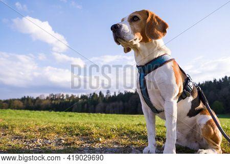 Dog Portrait Back Lit Background. Beagle On Rural Path
