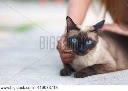 Woman's Hand Scratching The Neck To A Blue-eyed Cat.siamese Cat With Blue Eyes Sitting In The Garden