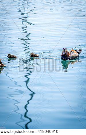One Adult Male Mandarin Duck With Ducklings Swimming In Water. Aix Galericulata. Lake Geneva, Switze