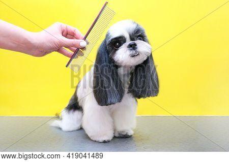 Groomer Working In Salon, Making Haircut At Pet Salon