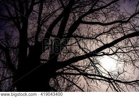 Silhouette Of A Huge Old Tree Trunk With Bare Branches Against The Gloomy Sky. Abstract Natural Grim