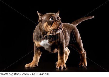 American Bully (bulldog) Pup (puppy) Stand. Studio Portrait On Black Background.