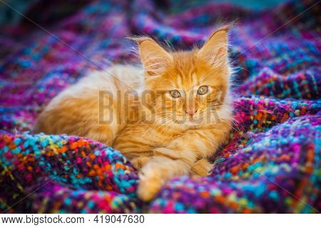 Maine Coon. Little Red Maine Coon Kitten On A Plaid.