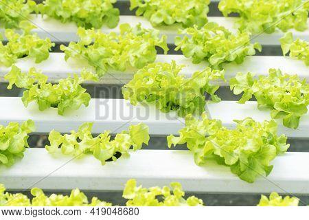 Technology Plantation Or Healthy Food Concept. Farmland Cultivation Modern With Row Fresh Green Leaf