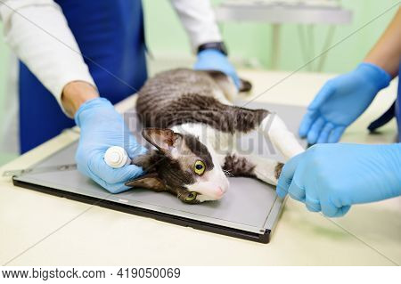 Two Veterinarian Doctor Are Going To Do An X-ray Of The Breed Cornish Rex Cat During The Examination