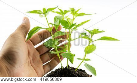 Hand Man Holding A Plant Green Tree Giving Meaning Of Environmental Stewardship Tree Isolated On Whi