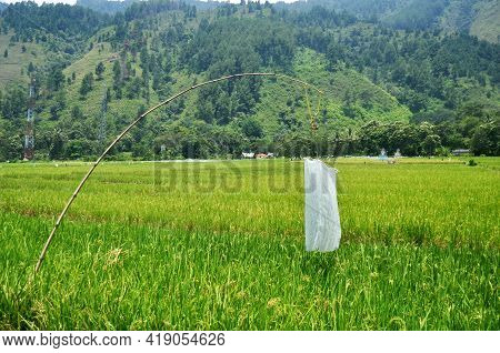 Landscape Farmland And Indonesian People Transplant Seeding Paddy Or Rice Field In Countryside And M