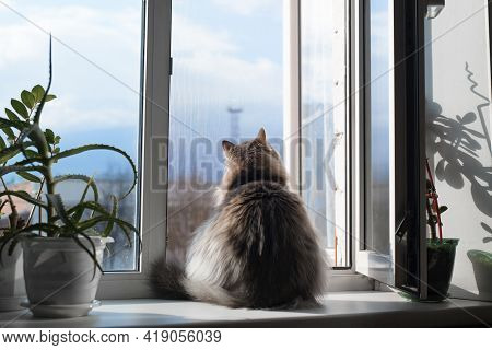 Fat, Furry Cat Sitting On A Windowsill By An Open Window, Indoors. Curious Cat Looking At The Street
