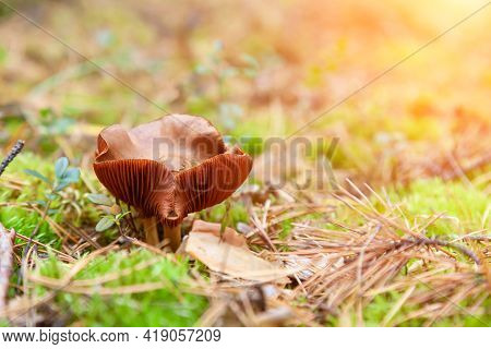 A Close-up Of A Toadstool Mushroom With A Beige Cap Hidden Among The Autumn Leaves And Spruce Needle