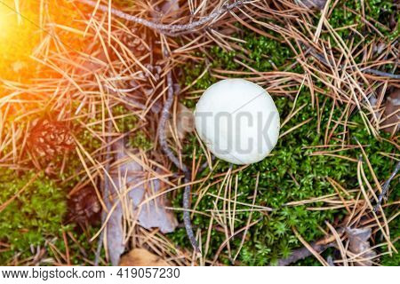 A Close-up Of A Toadstool Mushroom With A White Cap Hidden Among The Autumn Leaves And Spruce Needle