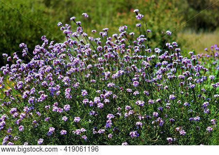 Chaparral Plants And Wildflowers During Spring Taken On A Grassy Field At A Chaparral Woodland In Th