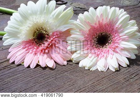 Very Nice White And Pink Gerber Flower Close Up