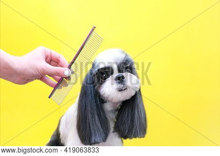 Groomer Working In Salon, Making Haircut At Pet Salon. Comb