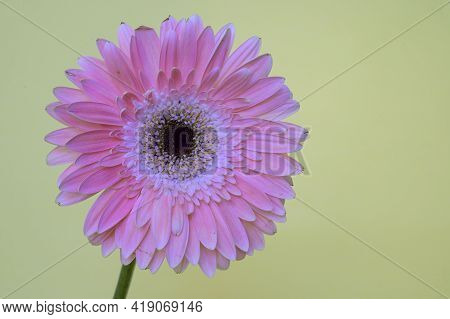 Colorful  Very Nice Gerber Flower Close Up