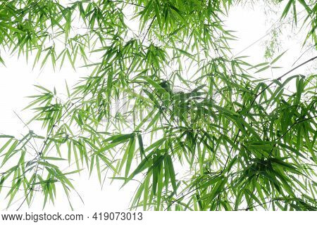 Green Bamboo Leaf For Background .abstract Blurred Bamboo Leaf Background, Bamboo Branch In Sunlight