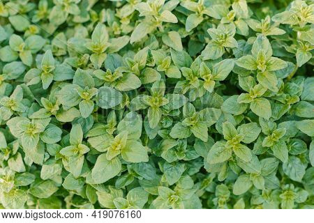 Oregano Bright Green Furry New Leaves (origanum Vulgare). Fresh Oregano Growing In The Herb Garden.s