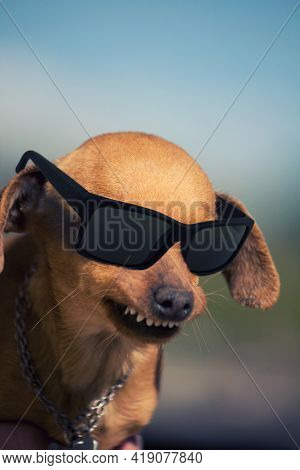 Dog With Weird Smile And Dark Glasses