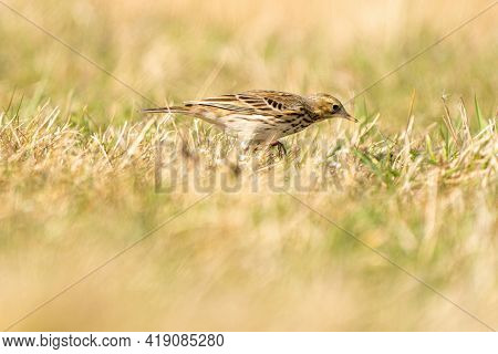 Tawny Pipit, Meadow Pipit Sitting In The Grass Of A Meadow. Small Brown Passerine Bird With A Stripe